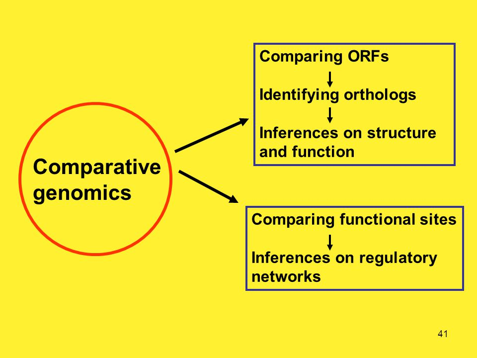 41 Comparative genomics Comparing ORFs Identifying orthologs Inferences on structure and function Comparing functional sites Inferences on regulatory networks