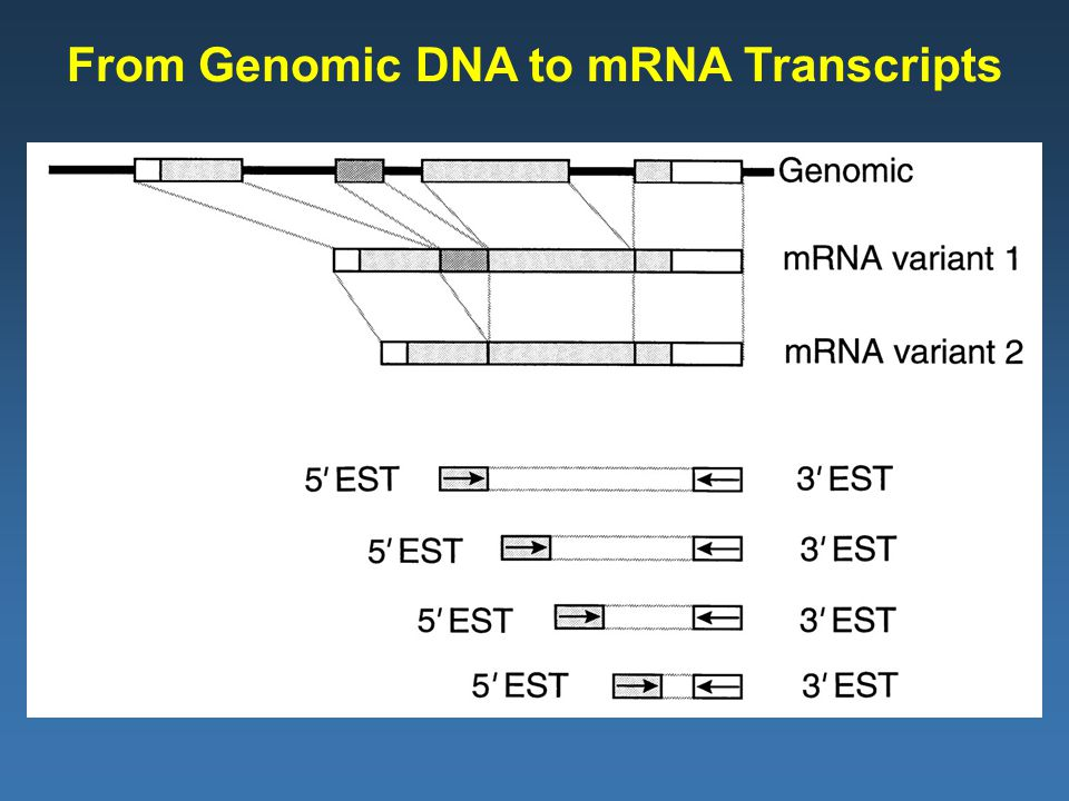 From Genomic DNA to mRNA Transcripts