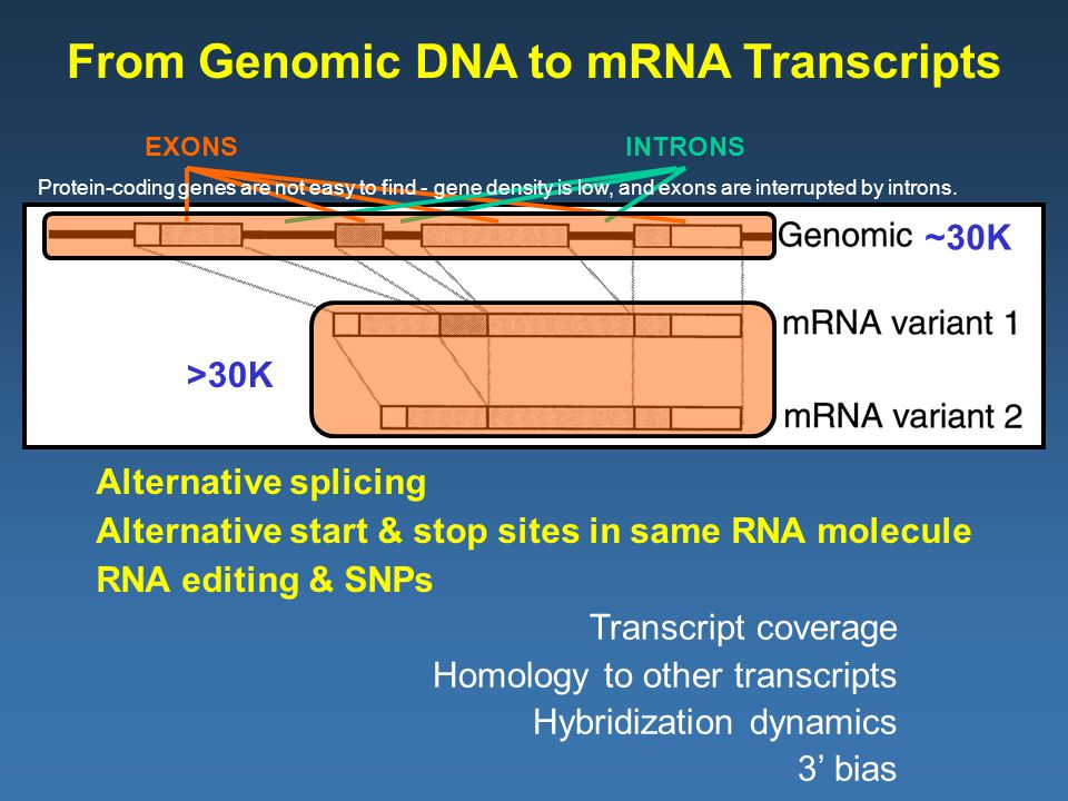 From Genomic DNA to mRNA Transcripts EXONSINTRONS RNA editing & SNPs Alternative splicing Alternative start & stop sites in same RNA molecule ~30K >30K Transcript coverage Homology to other transcripts Hybridization dynamics 3' bias Protein-coding genes are not easy to find - gene density is low, and exons are interrupted by introns.