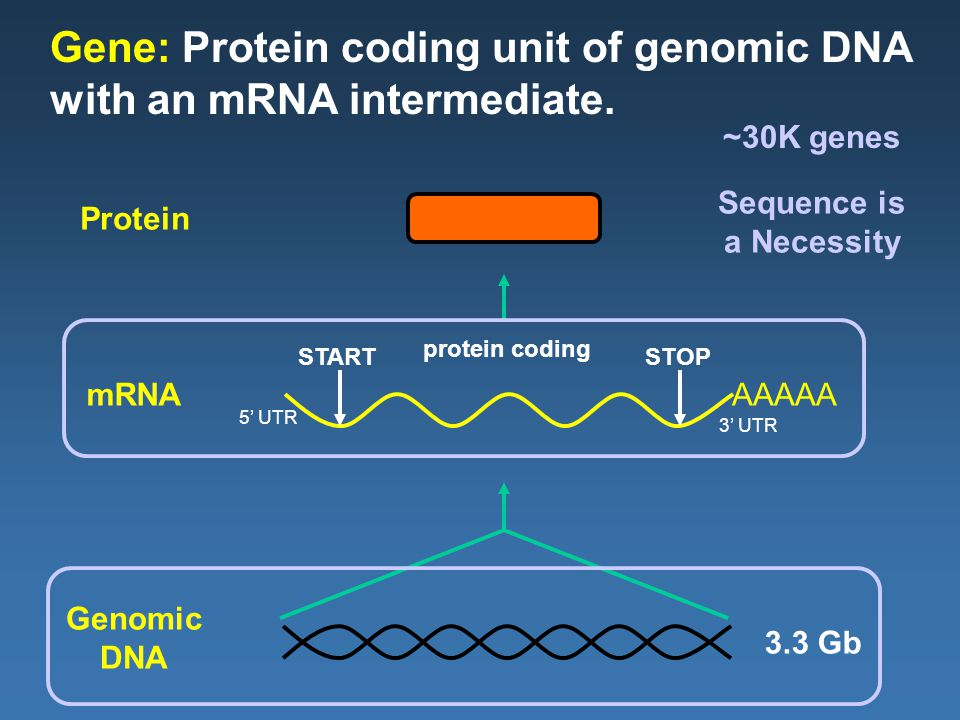 AAAAA Gene: Protein coding unit of genomic DNA with an mRNA intermediate.