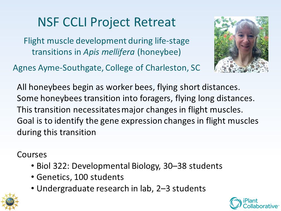 NSF CCLI Project Retreat Flight muscle development during life-stage transitions in Apis mellifera (honeybee) Agnes Ayme-Southgate, College of Charles