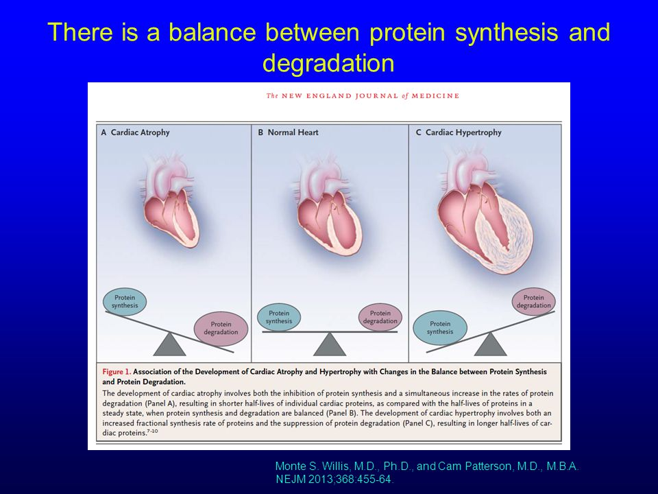 There is a balance between protein synthesis and degradation Monte S. Willis, M.D., Ph.D., and Cam Patterson, M.D., M.B.A. NEJM 2013;368:455-64.