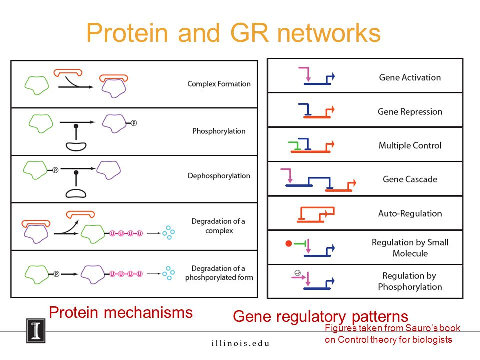 Protein and GR networks Figures taken from Sauro's book on Control theory for biologists Protein mechanisms Gene regulatory patterns