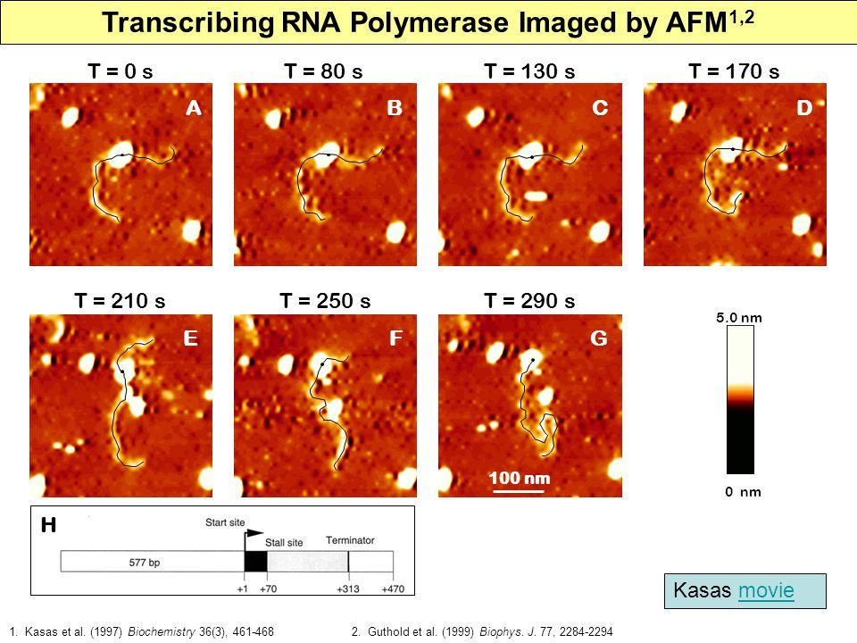 A T = 0 s B T = 80 s C T = 130 s 0 nm 5.0 nm E T = 210 s F T = 250 s G T = 290 s D T = 170 s Transcribing RNA Polymerase Imaged by AFM 1,2 100 nm 1.