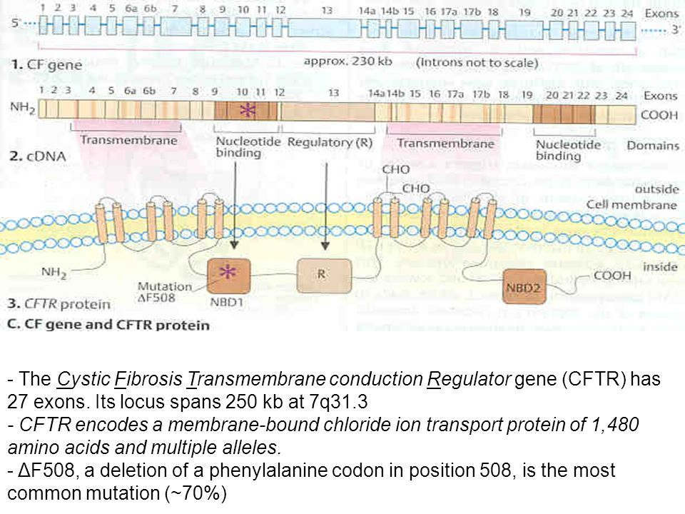 - The Cystic Fibrosis Transmembrane conduction Regulator gene (CFTR) has 27 exons.