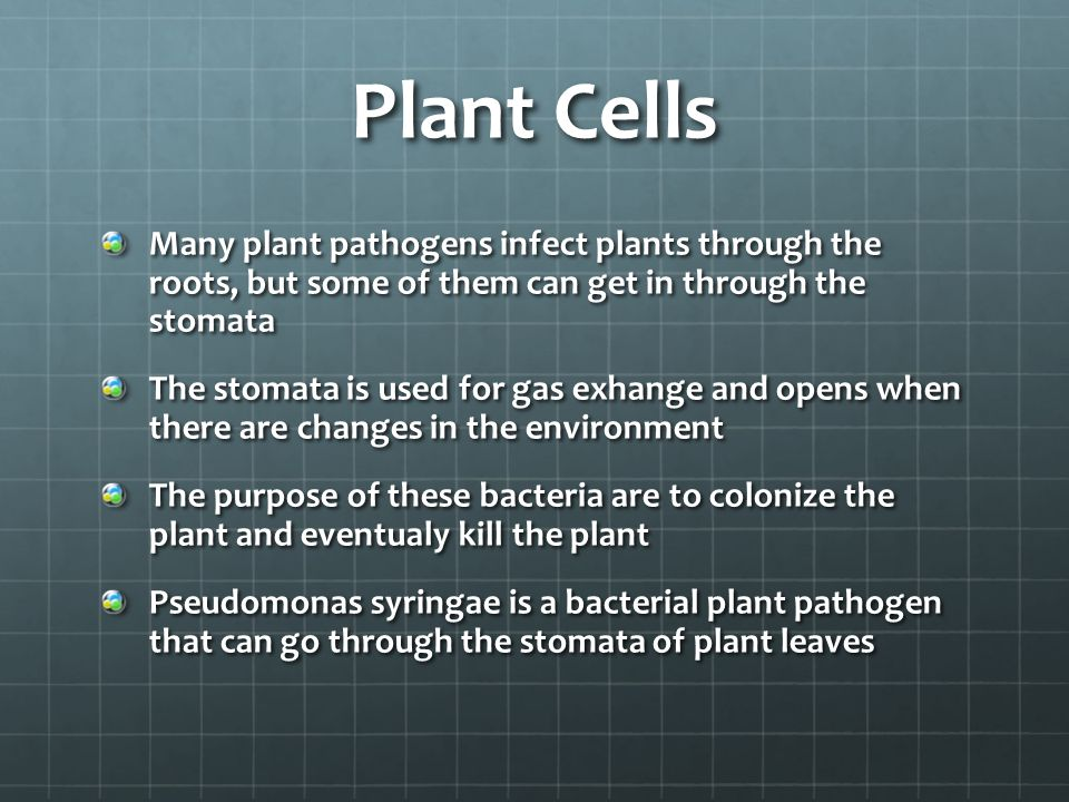 Plant Cells Many plant pathogens infect plants through the roots, but some of them can get in through the stomata The stomata is used for gas exhange and opens when there are changes in the environment The purpose of these bacteria are to colonize the plant and eventualy kill the plant Pseudomonas syringae is a bacterial plant pathogen that can go through the stomata of plant leaves