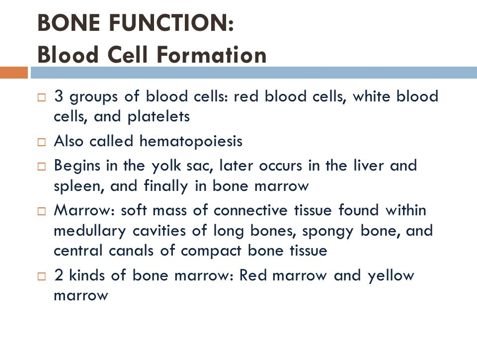 Continued…  Red marrow: formation of red blood cells, white blood cells and platelets.