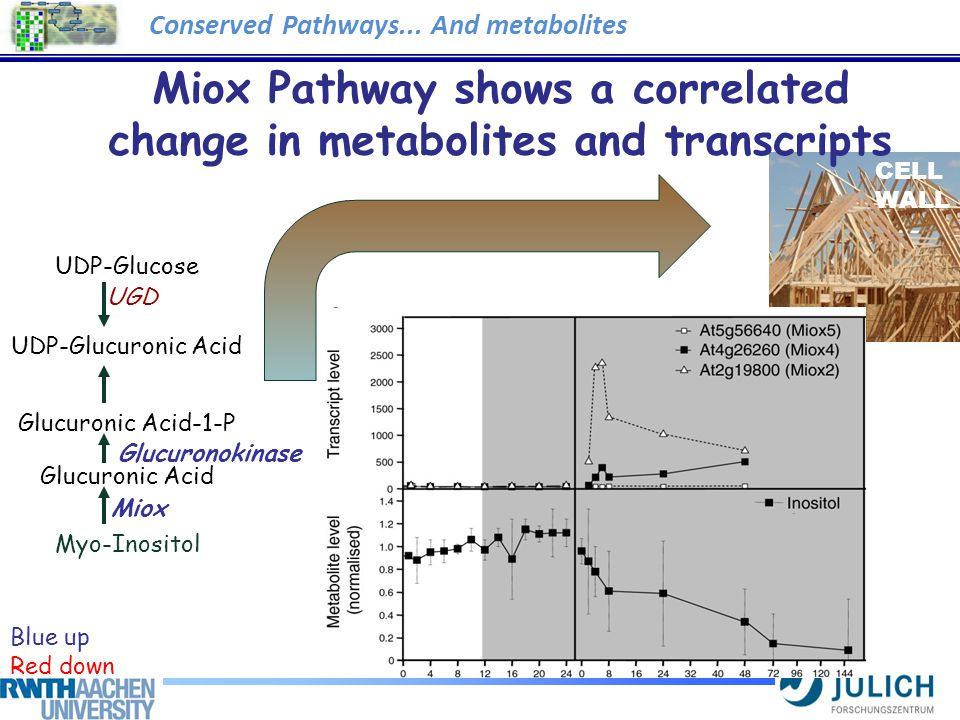Miox Pathway shows a correlated change in metabolites and transcripts Blue up Red down UDP-Glucose UDP-Glucuronic Acid Glucuronic Acid-1-P Glucuronic Acid Myo-Inositol Miox UGD Glucuronokinase CELL WALL Conserved Pathways...