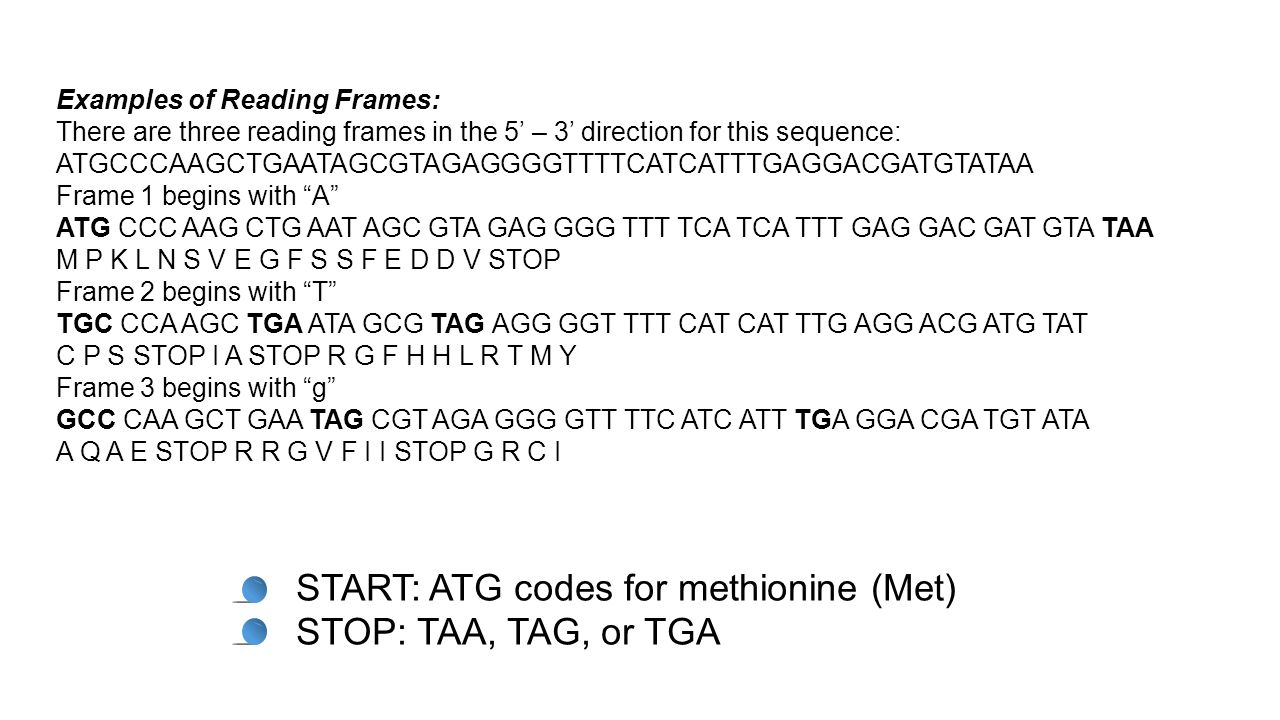 Examples of Reading Frames: There are three reading frames in the 5' – 3' direction for this sequence: ATGCCCAAGCTGAATAGCGTAGAGGGGTTTTCATCATTTGAGGACGA