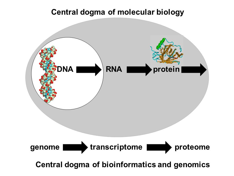 DNARNAprotein Central dogma of molecular biology genometranscriptomeproteome Central dogma of bioinformatics and genomics