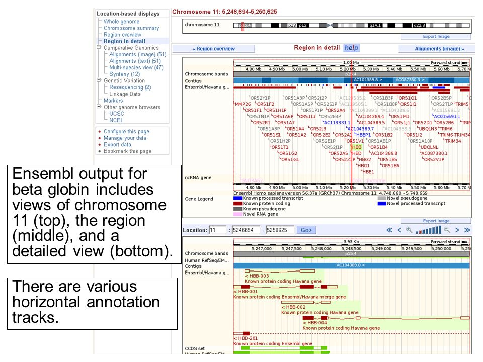 Ensembl output for beta globin includes views of chromosome 11 (top), the region (middle), and a detailed view (bottom). There are various horizontal