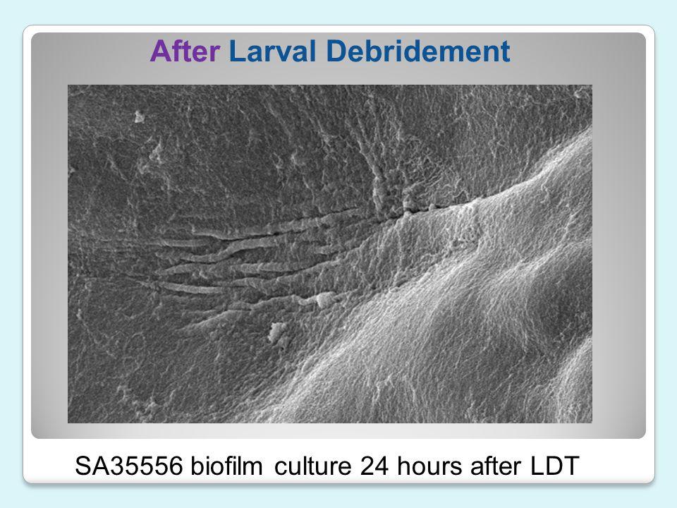 After Larval Debridement SA35556 biofilm culture 24 hours after LDT