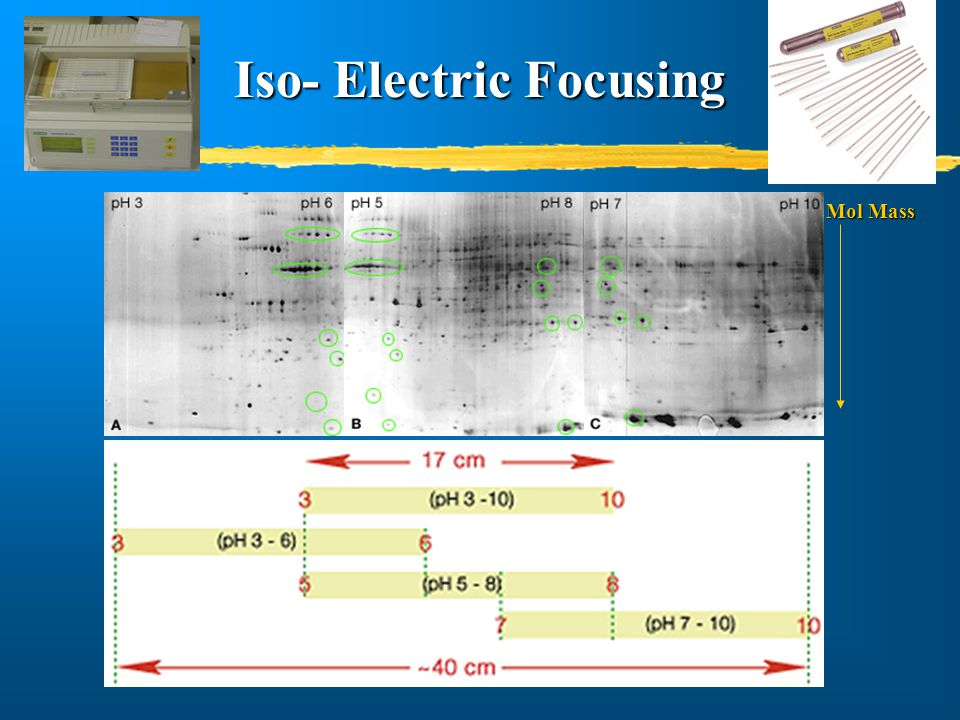 Iso- Electric Focusing Mol Mass