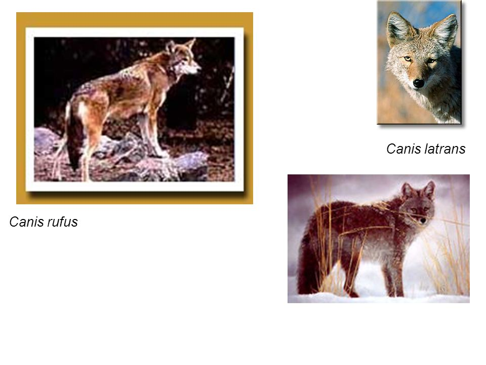 Canis rufus Canis latrans