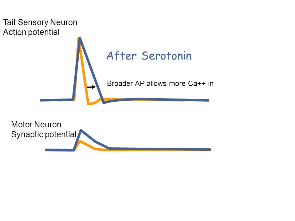 Tail Sensory Neuron Action potential After Serotonin Motor Neuron Synaptic potential Broader AP allows more Ca++ in
