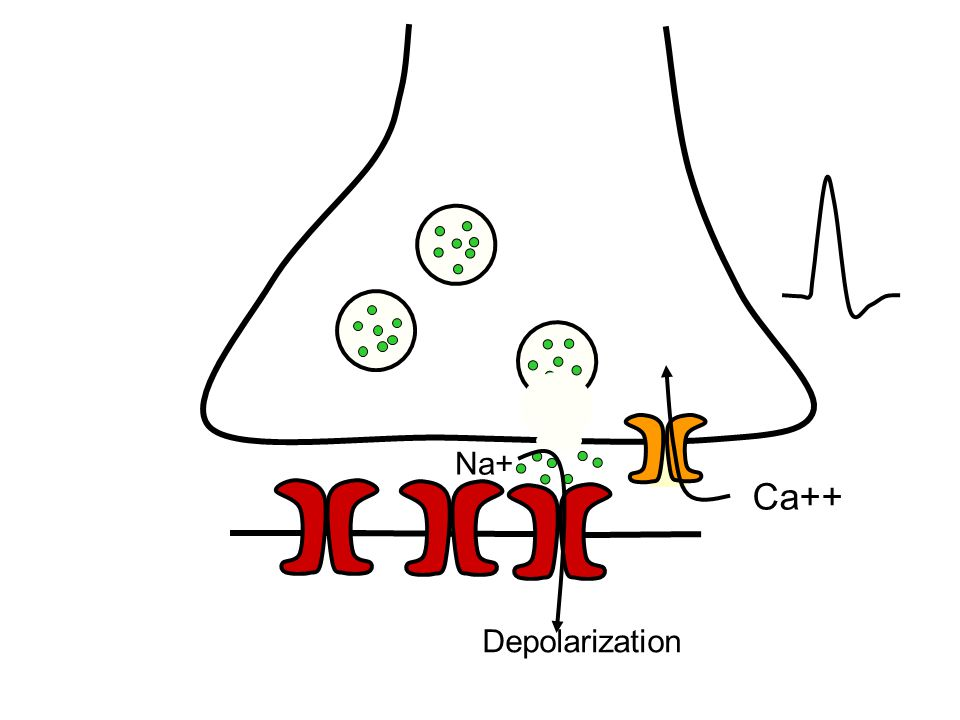 Ca++ Na+ Depolarization