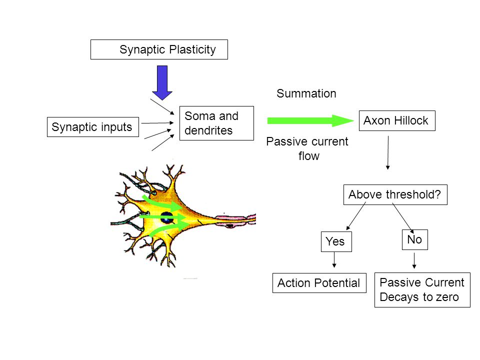 Soma and dendrites Synaptic inputs Axon Hillock Passive current flow Above threshold.