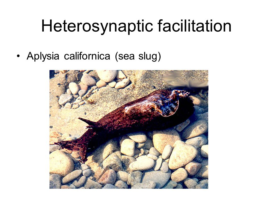 Heterosynaptic facilitation Aplysia californica (sea slug)