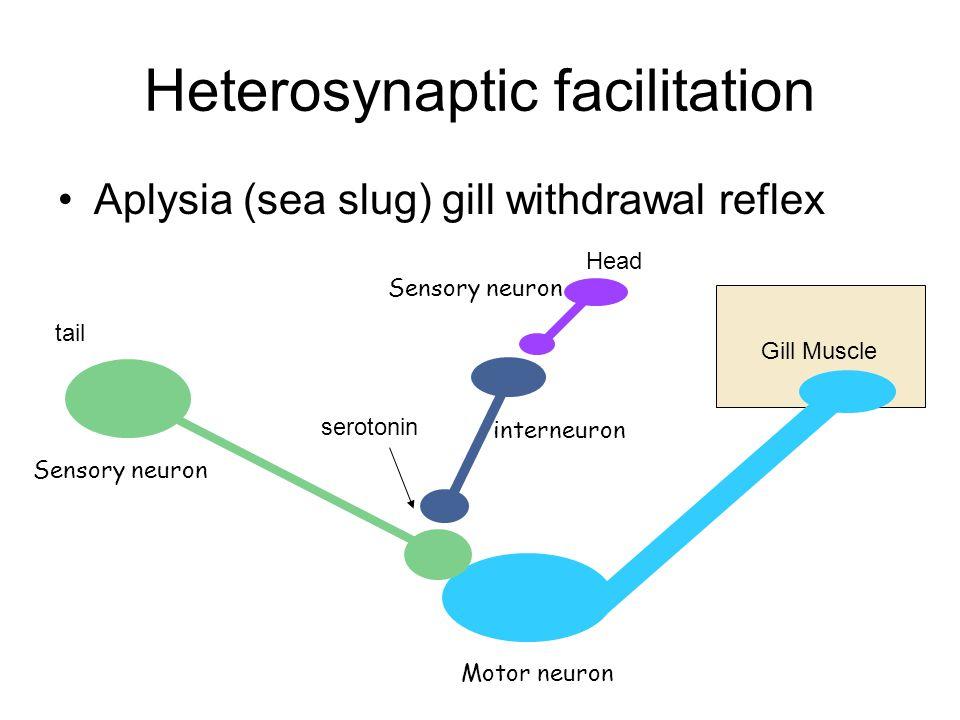 Heterosynaptic facilitation 1.Serotonin released from interneuron 2.