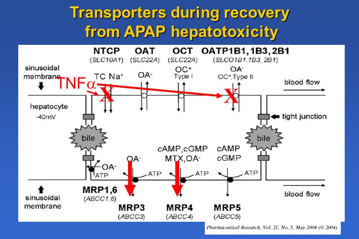 X Transporters during recovery from APAP hepatotoxicity X TNF 