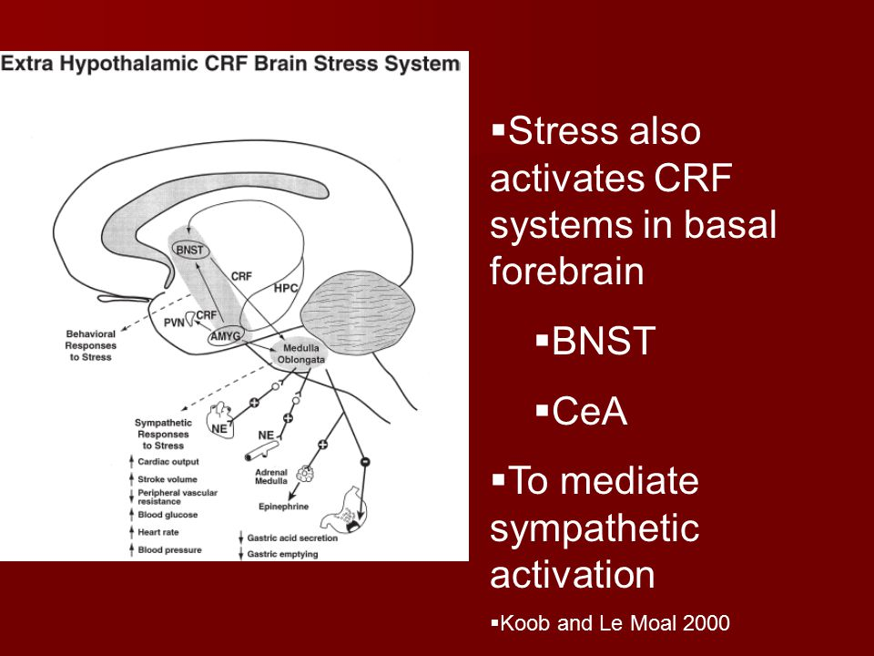  Stress also activates CRF systems in basal forebrain  BNST  CeA  To mediate sympathetic activation  Koob and Le Moal 2000
