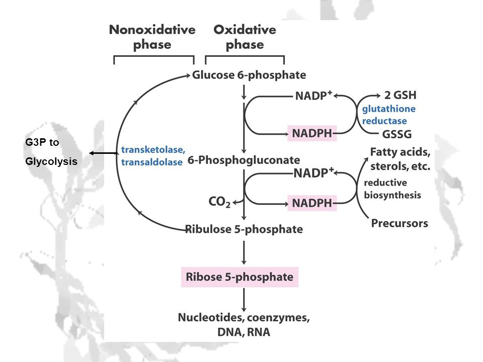 Glucose-6-P Dehydrogenase Deficiency Effects ~ 4*10 8 people worldwide Most common human genetic disease Lack of G-6PD means lack of NADPH Lack of NADPH means lack of GSH Lack of GSH means excess of peroxides RBC membranes particularly susceptible to peroxides Hemolytic Anemia