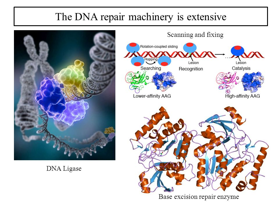 The DNA repair machinery is extensive DNA Ligase Base excision repair enzyme Scanning and fixing