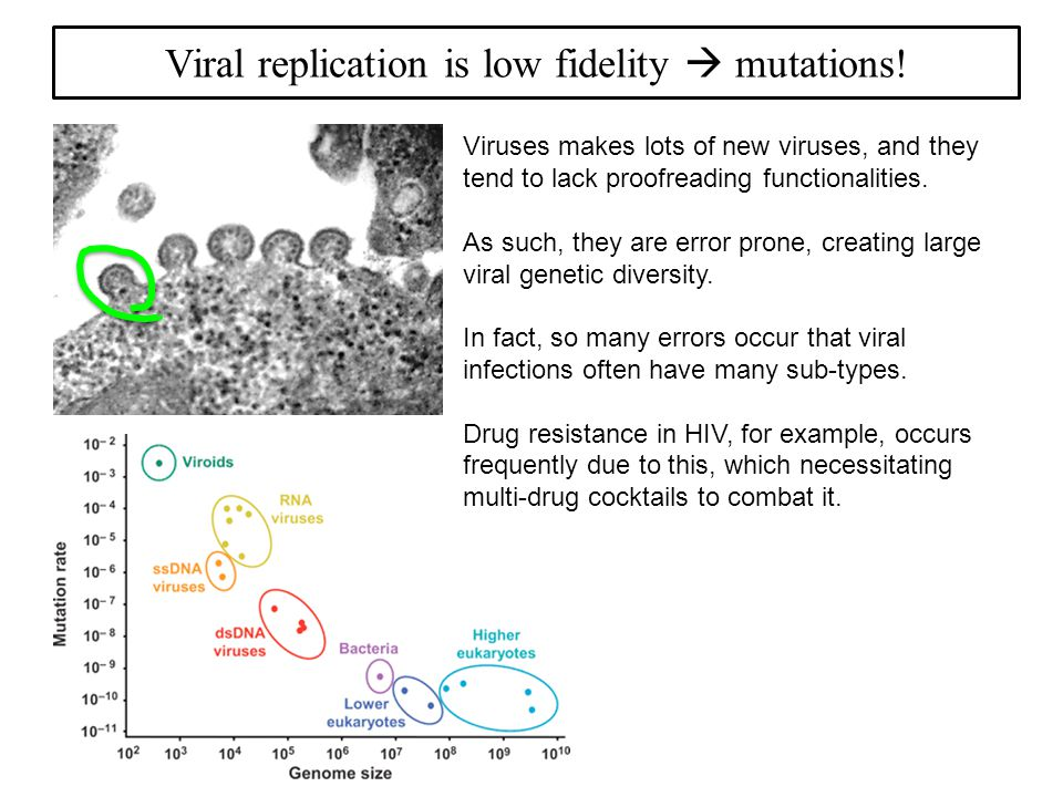 Viral replication is low fidelity  mutations.