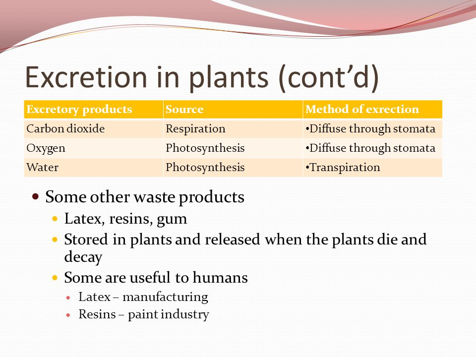 Excretion in plants (cont'd) Excretory productsSourceMethod of exrection Carbon dioxideRespiration Diffuse through stomata OxygenPhotosynthesis Diffuse through stomata WaterPhotosynthesis Transpiration Some other waste products Latex, resins, gum Stored in plants and released when the plants die and decay Some are useful to humans Latex – manufacturing Resins – paint industry