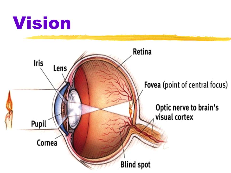 Vision when light strikes the rods and cones of the retina it causes a reaction that stimulates the optic nerve nerve that carries neural impulses fro