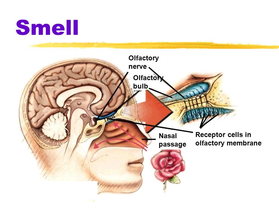 Smell  also called olfaction  Molecules of substances reach 1 of 5 mil receptor cells in olfactory membrane  olfactory nerve carries signals to the