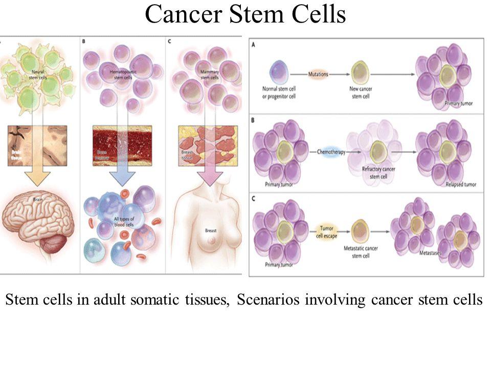 Cancer Stem Cells Stem cells in adult somatic tissues, Scenarios involving cancer stem cells