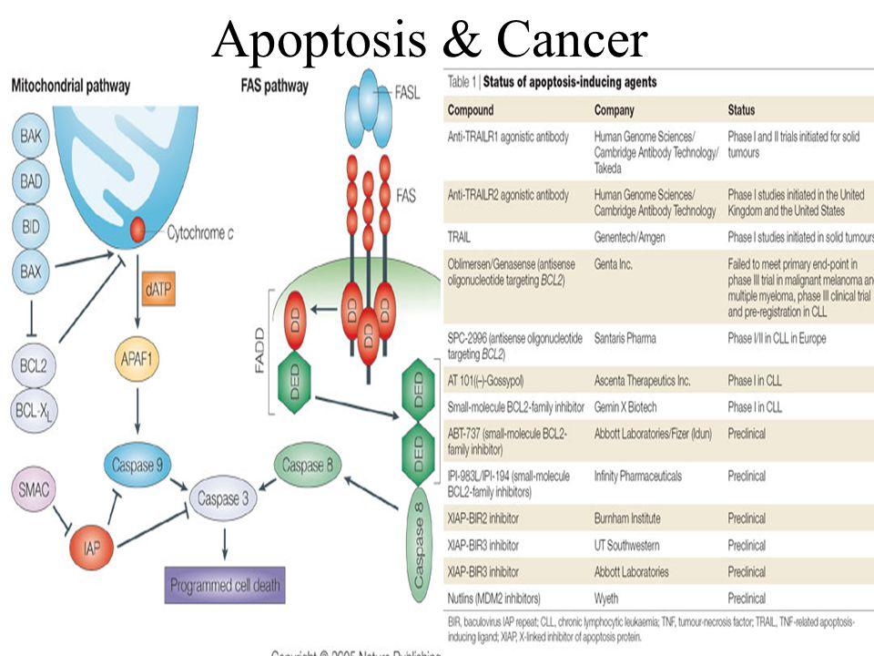 Apoptosis & Cancer