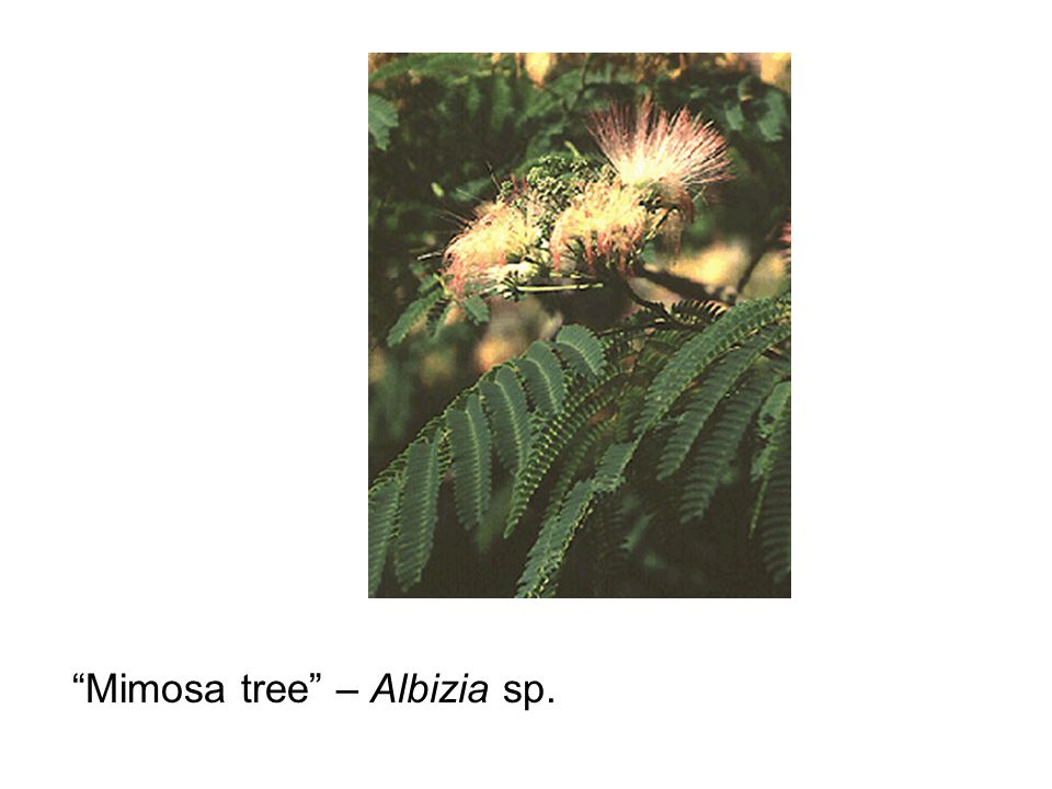 Mimosa tree – Albizia sp.
