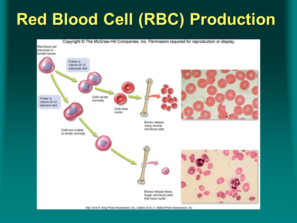 Insert Figure 8.20Insert Figure 8.20 Red Blood Cell (RBC) Production