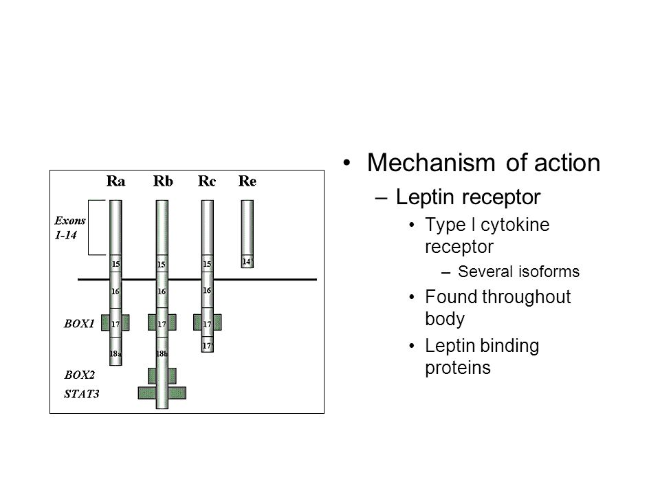 Mechanism of action –Leptin receptor Type I cytokine receptor –Several isoforms Found throughout body Leptin binding proteins