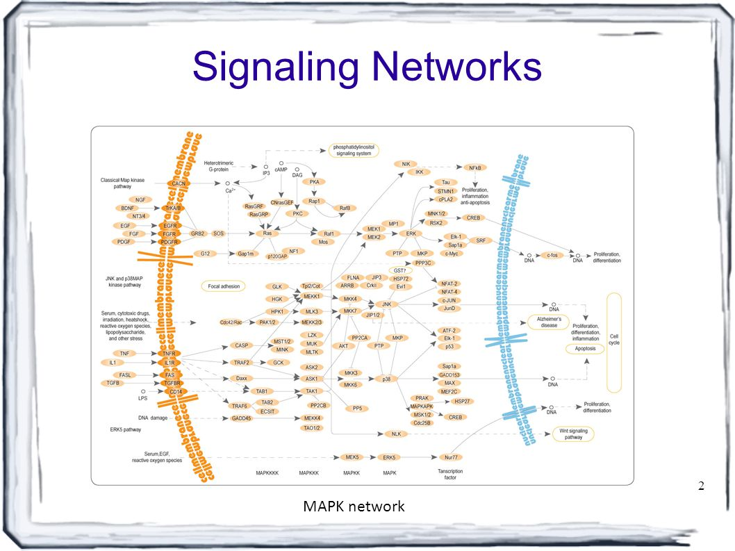Signaling Networks 2 MAPK network