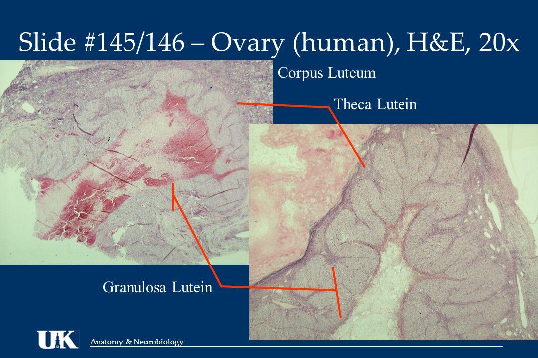 Anatomy & Neurobiology Slide #145/146 – Ovary (human), H&E, 20x Corpus Luteum Granulosa Lutein Theca Lutein