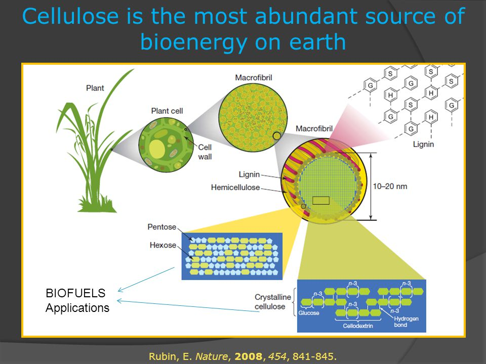 Cellulose is the most abundant source of bioenergy on earth Rubin, E.