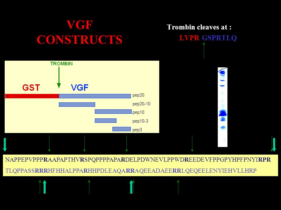 VGF CONSTRUCTS Trombin cleaves at : …...LVPR GSPRTLQ…..