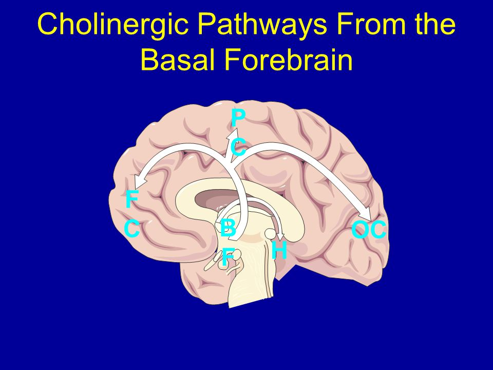 Cholinergic Pathways From the Basal Forebrain PCPC OC FCFC BFBF H