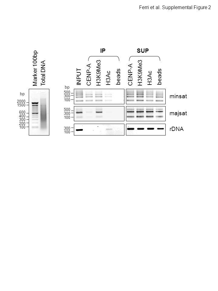 minsat rDNA H3Ac H3K9Me3 CENP-A beads INPUT IPSUP H3Ac H3K9Me3 CENP-A beads Total DNAMarker 100bp majsat Ferri et al.