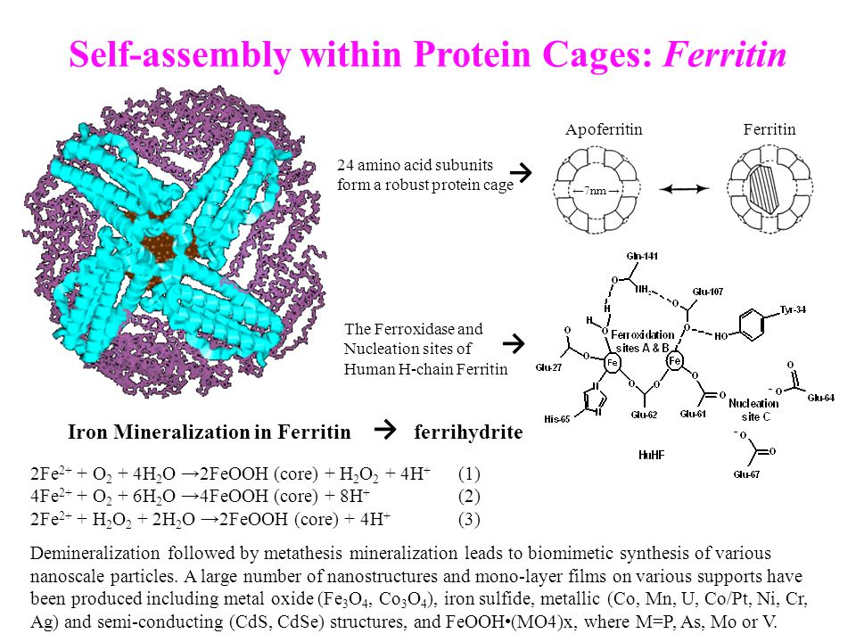 Self-assembly within Protein Cages: Ferritin Iron Mineralization in Ferritin ferrihydrite 2Fe 2+ + O 2 + 4H 2 O →2FeOOH (core) + H 2 O 2 + 4H + (1) 4F