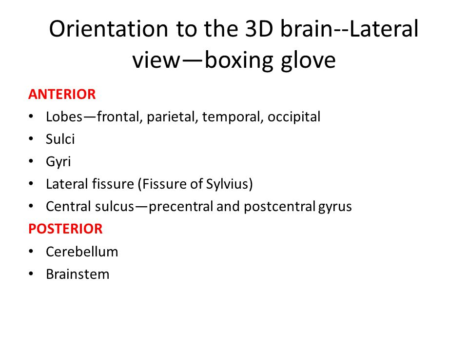 Orientation to the 3D brain--Lateral view—boxing glove ANTERIOR Lobes—frontal, parietal, temporal, occipital Sulci Gyri Lateral fissure (Fissure of Sy