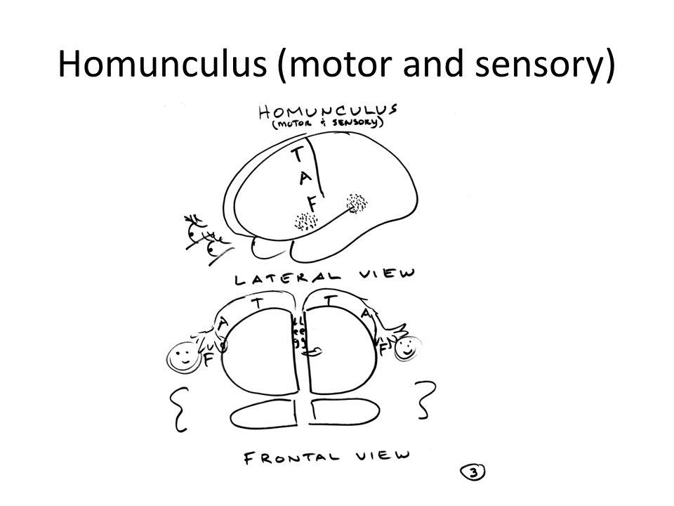 Homunculus (motor and sensory)