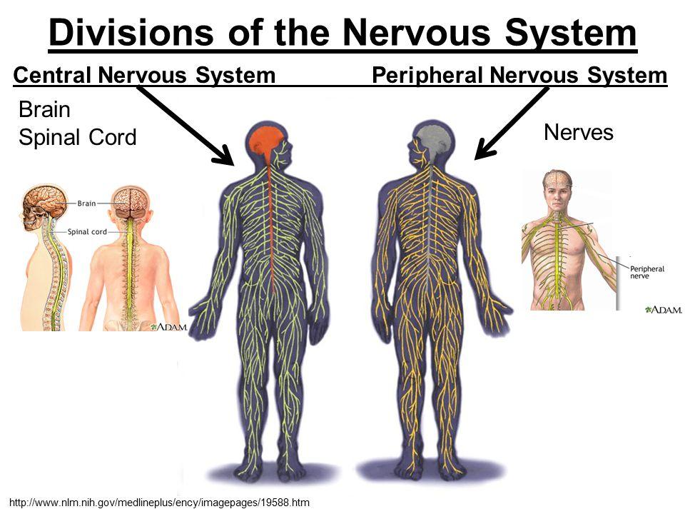 Divisions of the Nervous System Central Nervous System Peripheral Nervous System Brain Spinal Cord http://www.nlm.nih.gov/medlineplus/ency/imagepages/19588.htm Nerves