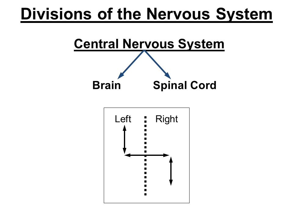 Divisions of the Nervous System Central Nervous System Brain Spinal Cord Left Right