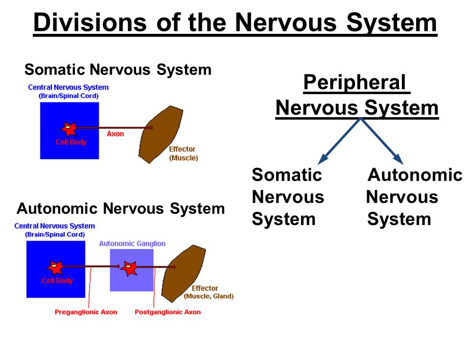 Divisions of the Nervous System Peripheral Nervous System Somatic Autonomic Nervous System Somatic Nervous System Autonomic Nervous System