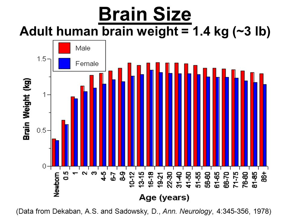 Brain Size Adult human brain weight = 1.4 kg (~3 lb) (Data from Dekaban, A.S.
