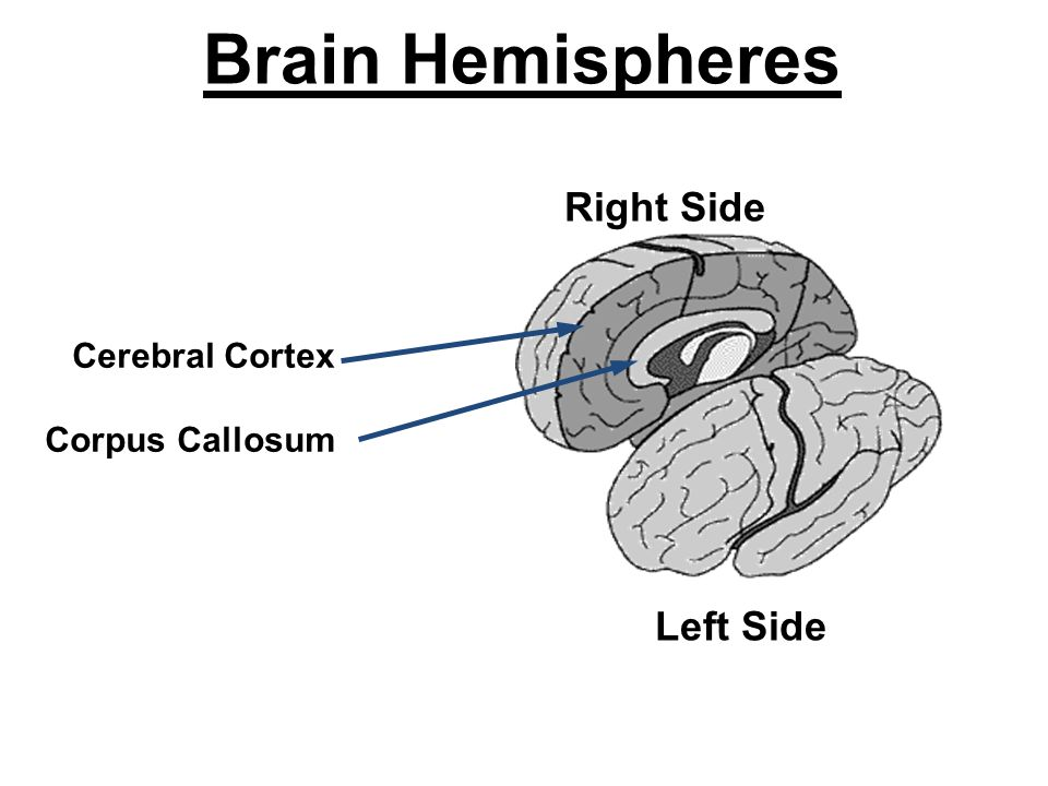 Right Side Left Side Brain Hemispheres Cerebral Cortex Corpus Callosum